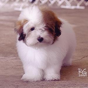 small breed dog-Bono