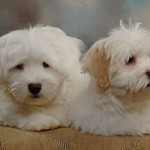 Our Coton de Tulear Family