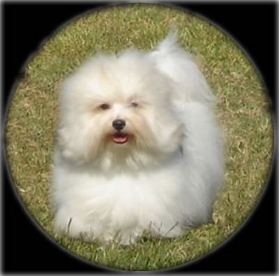 Bono is a champion Coton de Tulear and sire for our new puppies.