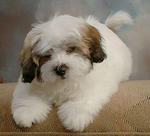 puppy coton de tulear