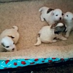 Our Newest Coton Puppies